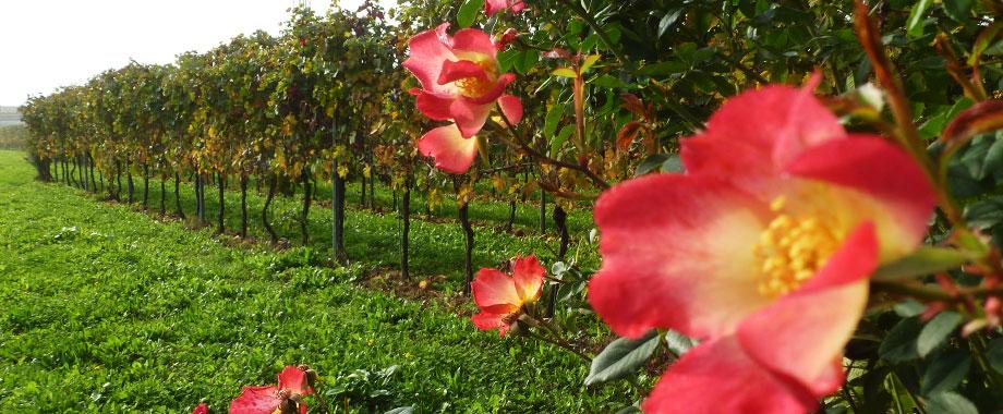 Vini Monticello - Due Carrare Padova - Colli Euganei